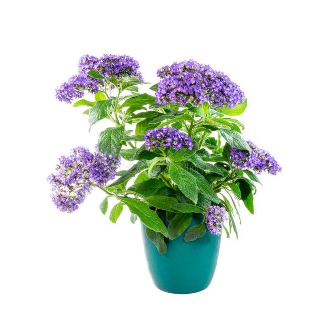 Heliotropium Blue Bouquet / Vaníliavirág