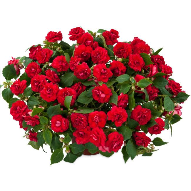 Impatiens Musica Elegant Red / Telt virágú nebáncsvirág