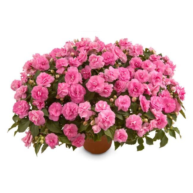 Impatiens Musica Pink Aroma / Telt virágú nebáncsvirág