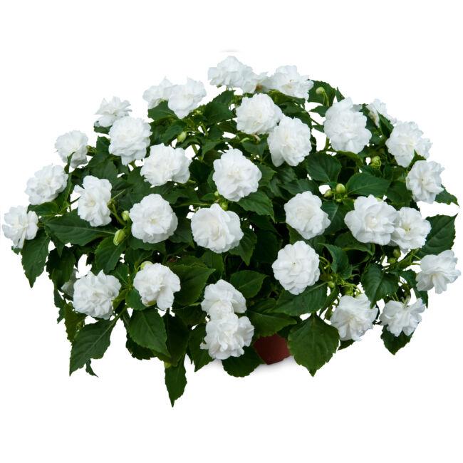 Impatiens Musica Pure White / Telt virágú nebáncsvirág