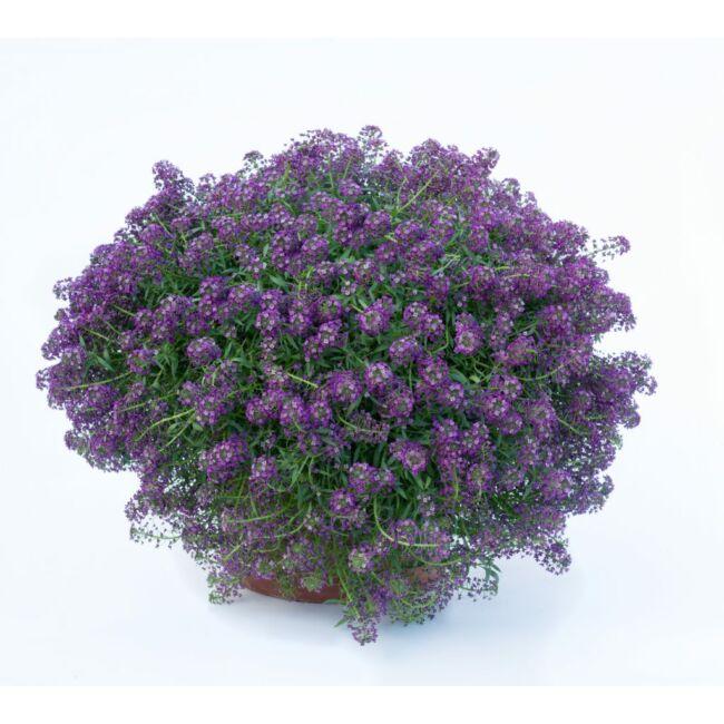 Lobularia Purple Stream / Illatos ternye vagy mézvirág