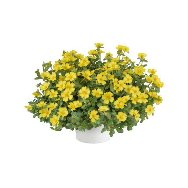 Portulaca Pazzaz Nano Yellow / Porcsinrózsa