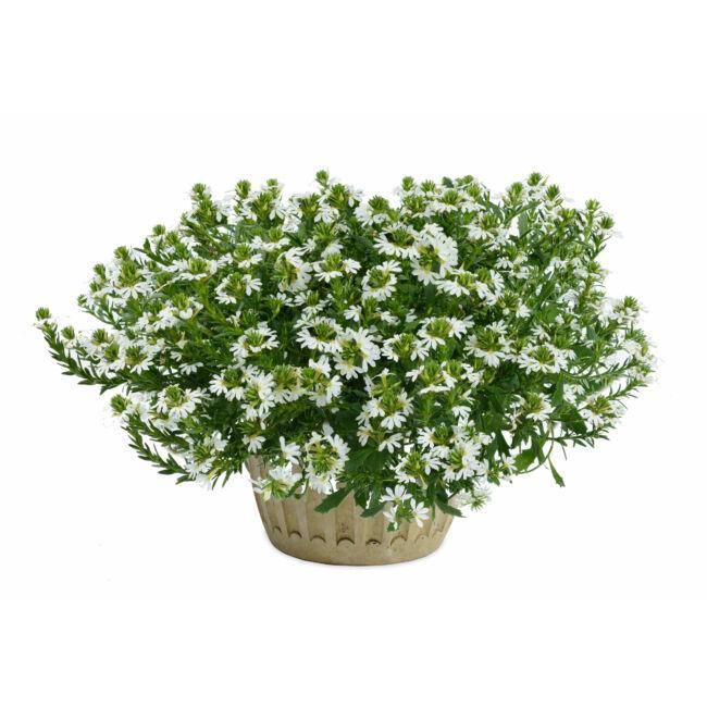 Scaevola White Blessing / Legyezővirág