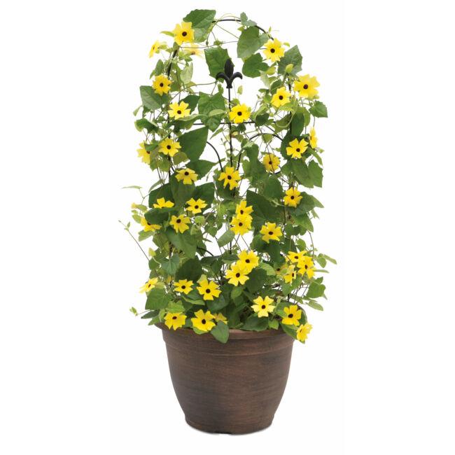 Thunbergia Lemon / Feketeszem