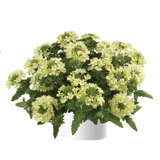 Verbena Vanessa Compact Lime / Kerti verbéna