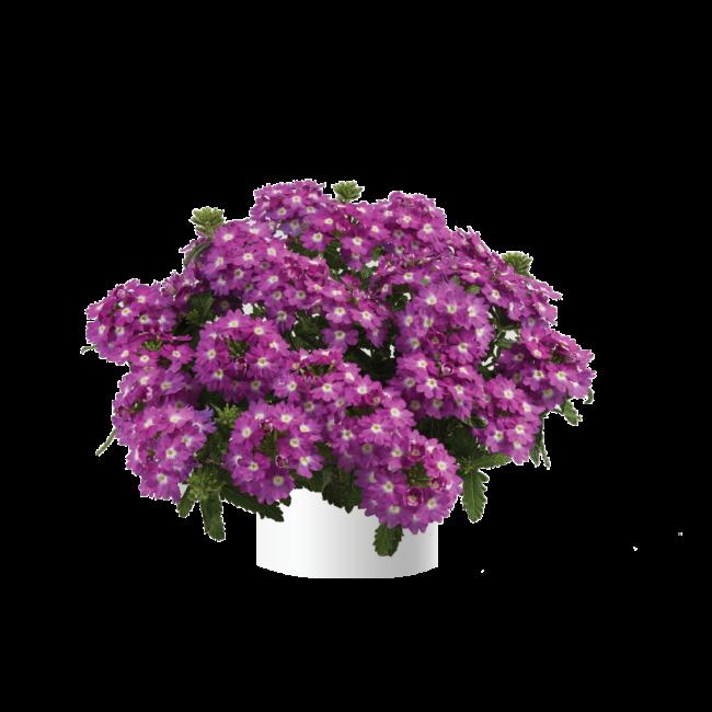 Verbena Vanessa Compact Violet / Kerti verbéna
