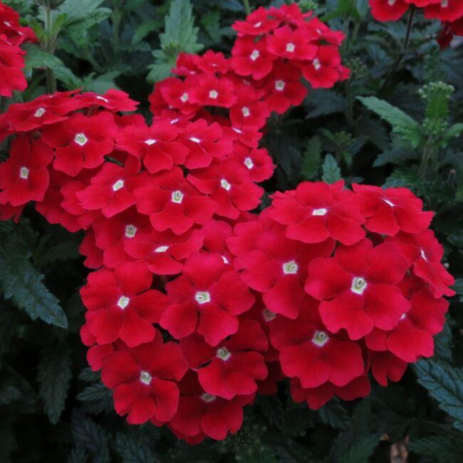 Verbena Gala Beauty Red / Kerti verbéna
