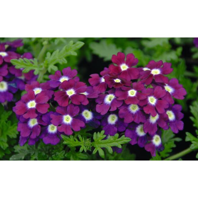 Vepita Purple White