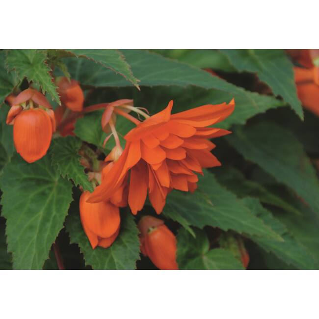 Begonia Belleconia Hot Orange / Telt virágú begónia