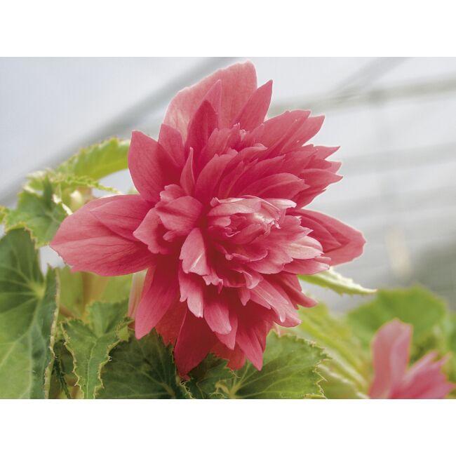 Begonia Belleconia Rose / Telt virágú begónia