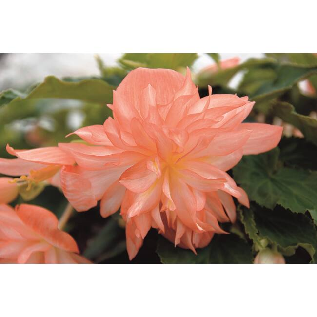 Begonia Belleconia Soft Orange / Telt virágú begónia