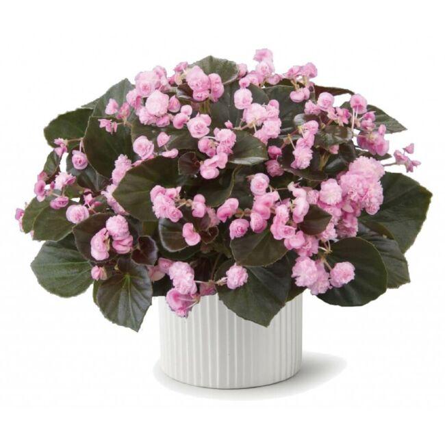 Begonia Doublet Pink / Dupla virágú begónia