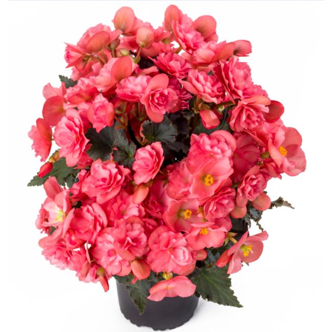 Begonia Chloe Coral Pink / Kerti begónia