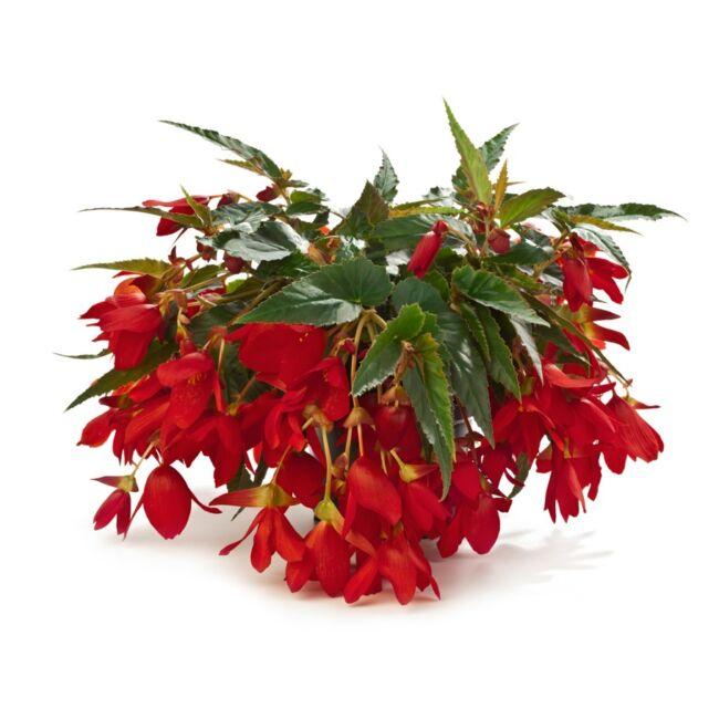 Begonia Encanto Red / Naptűrő, futó begónia