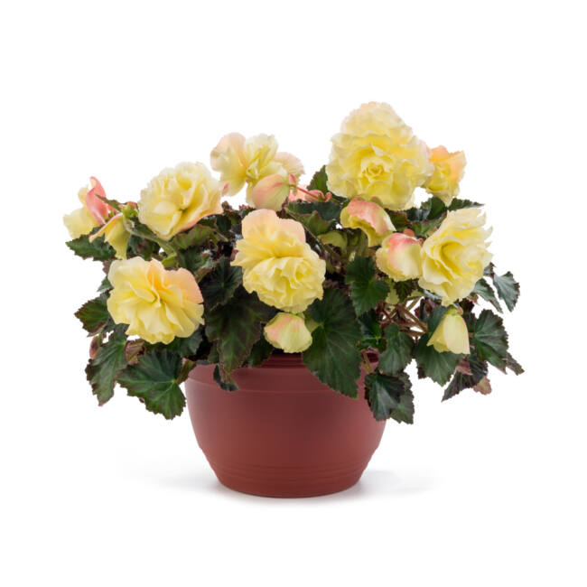 Begonia Fragrant Falls Lemon / Illatos virágú begónia