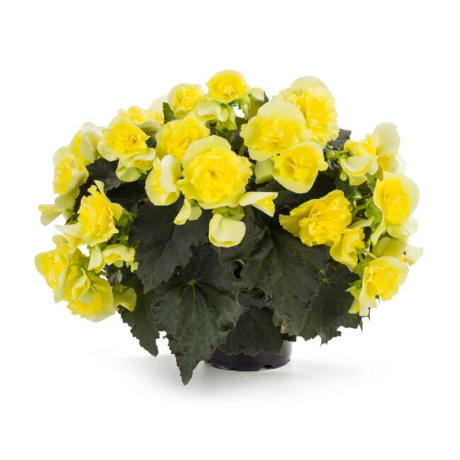 Begonia Solenia Yellow / Naptűrő begónia
