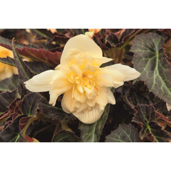 Begonia Summerwings Double Cream / Futó begónia