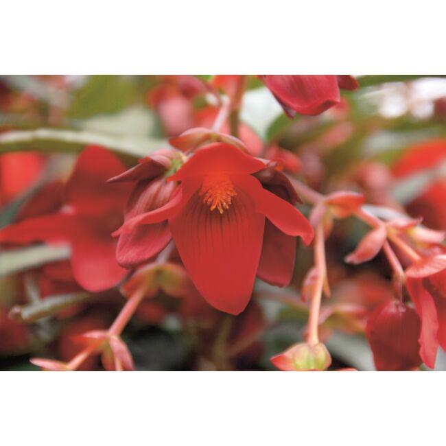 Begonia Summerwings Deep Red / Futó begónia