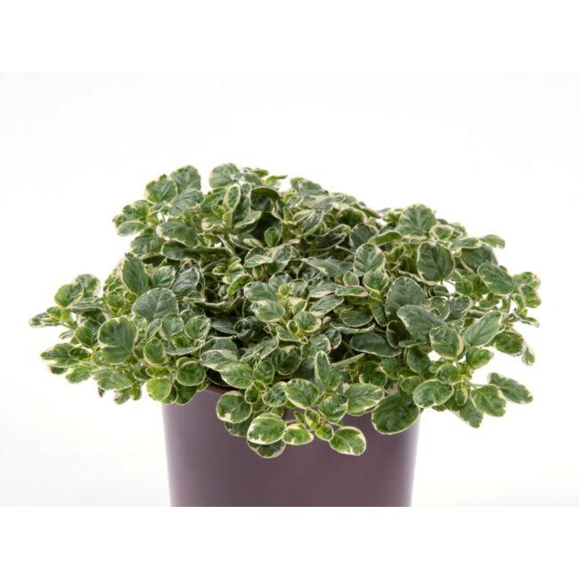 Origanum vulgare variegata / Szurokfű vagy oregánó - tarka levelű változat