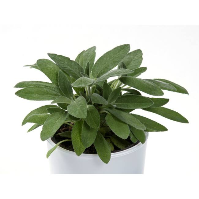 Salvia officinalis / Orvosi zsálya