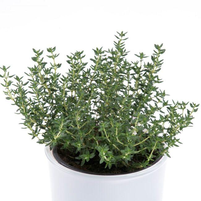 Thymus vulgaris / Kerti kakukkfű