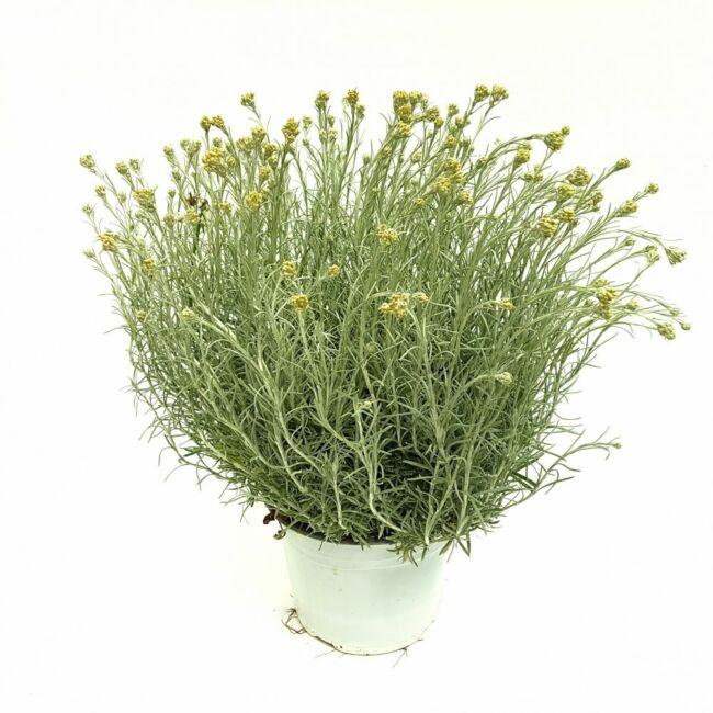 Helichrysum Italicum Curry / Olasz szalmagyopár