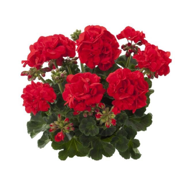 Eco Friesia Red