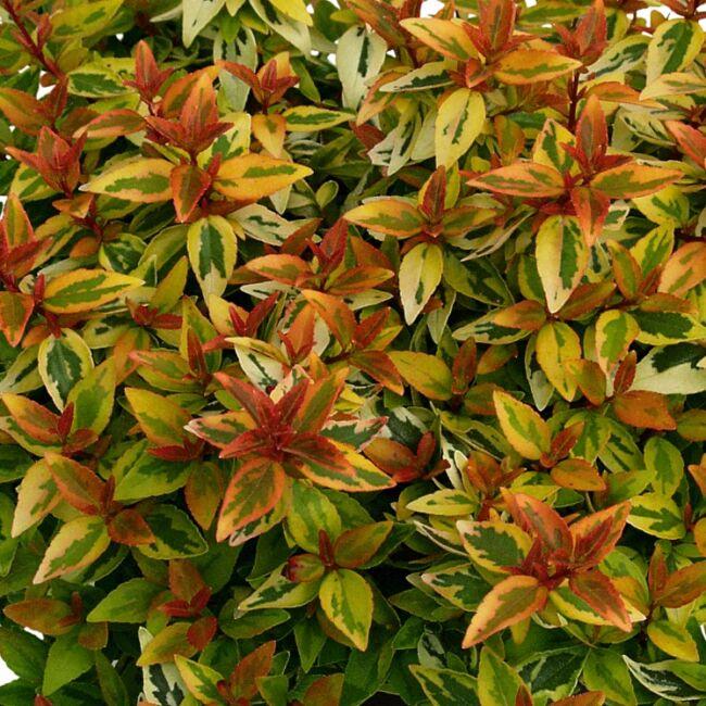 Abelia Grandiflora 'Kaleidoscope' / Tárnicslonc
