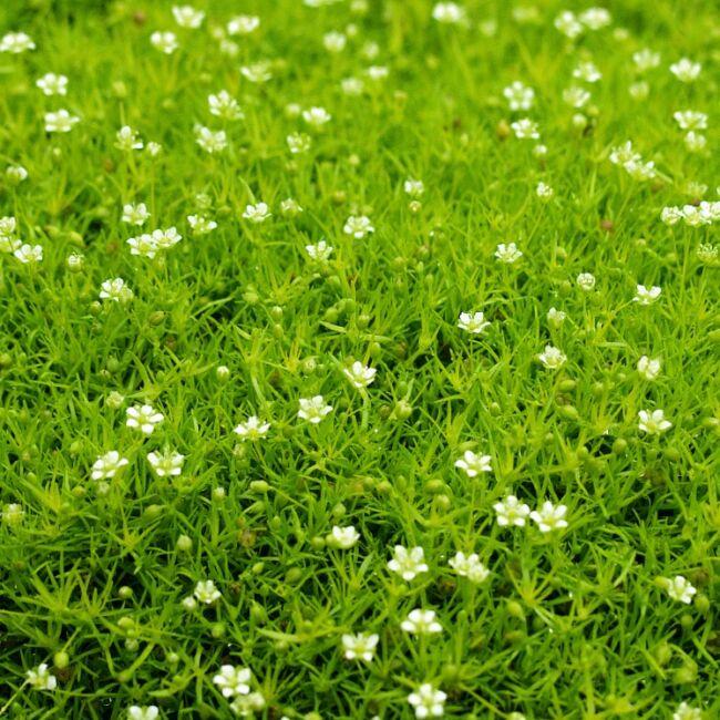Sagina Subulata 'Scotch Moss' / Szálkás zöldhúr, csillagmoha