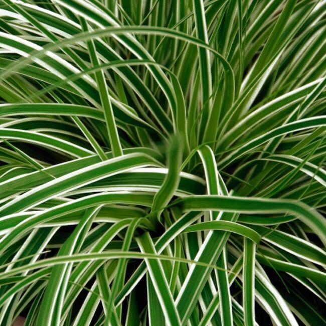 Carex Oshimensis 'Everest' / Ósimai sás