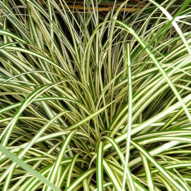 Carex hachijoensis 'Evergold' / Japán díszsás