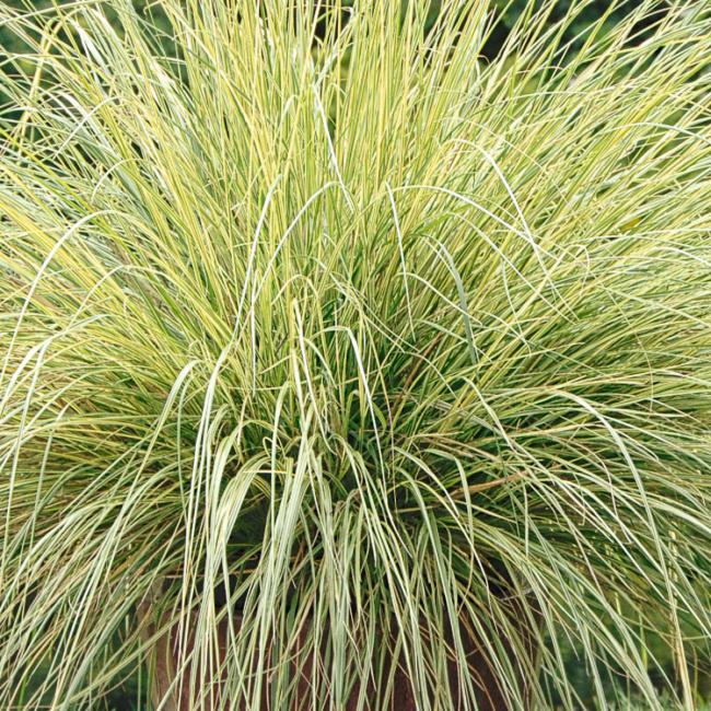 Pennisetum alopecuriodes 'Pennstripe' / Ausztrál tollborzfű