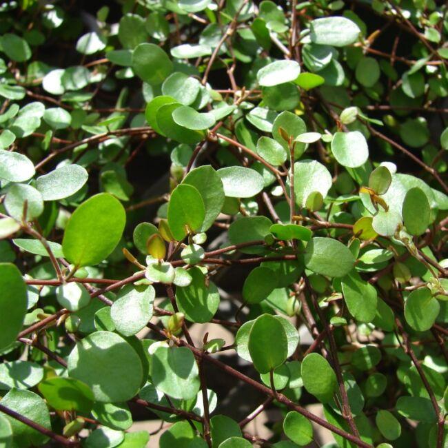 Muehlenbeckia Complexa / Kúszó keserűporclián