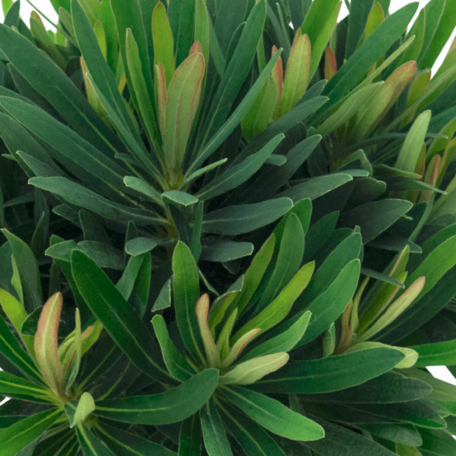 Euphorbia 'Daphne' / Évelő kutyatej