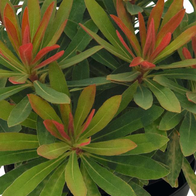 Euphorbia 'Medea' / Évelő kutyatej