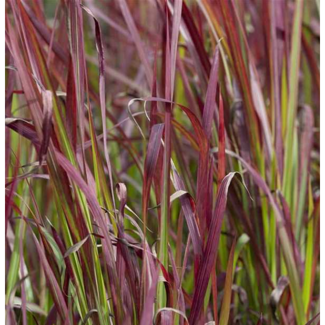 Imperata cylindrica 'Red Baron' / Alangfű