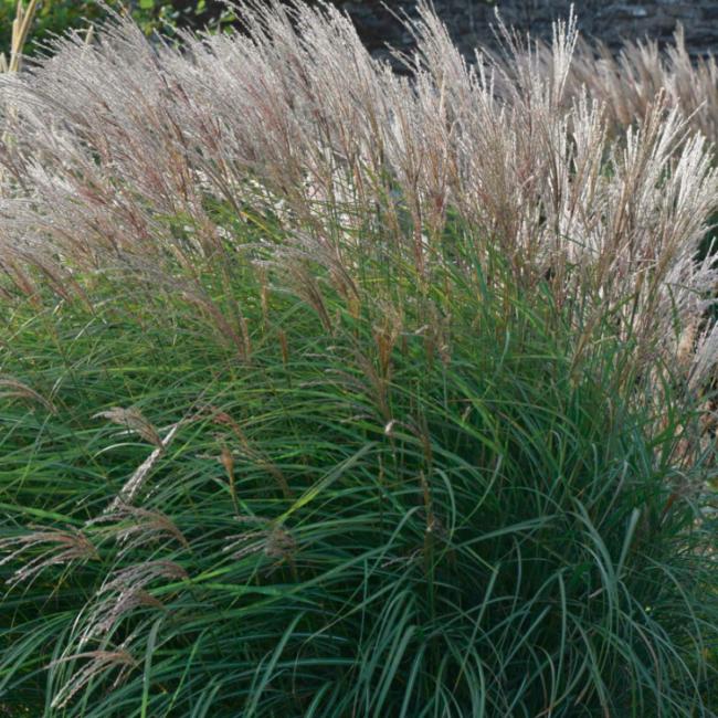 Miscanthus sinensis 'Kleine Silberspinne' / Japánfű, virágosnád