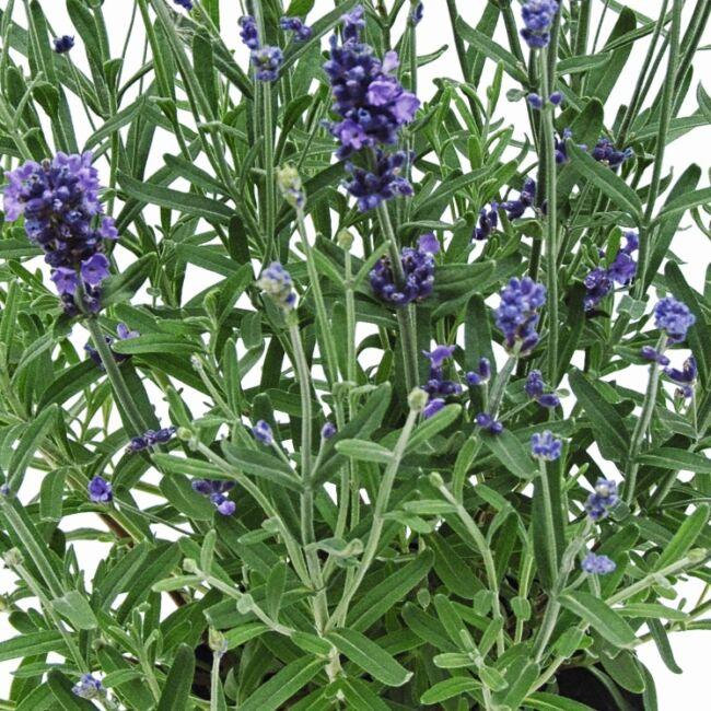 Lavandula Angustifolia 'Belle Bleue' / Levendula