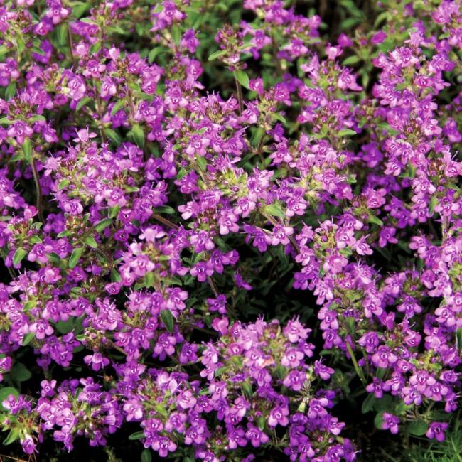 Thymus Serpyllum 'Purple Beauty' / Mezei kakukkfű