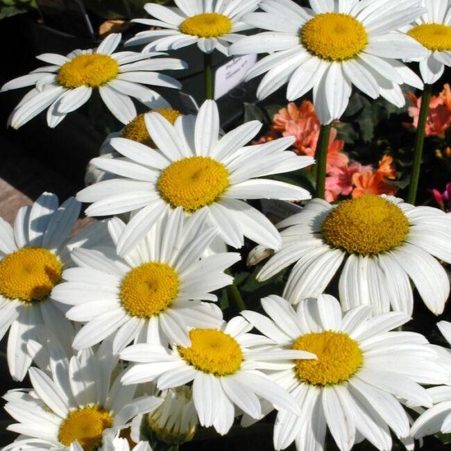 Leucanthemum 'Daisy May' / Margaréta