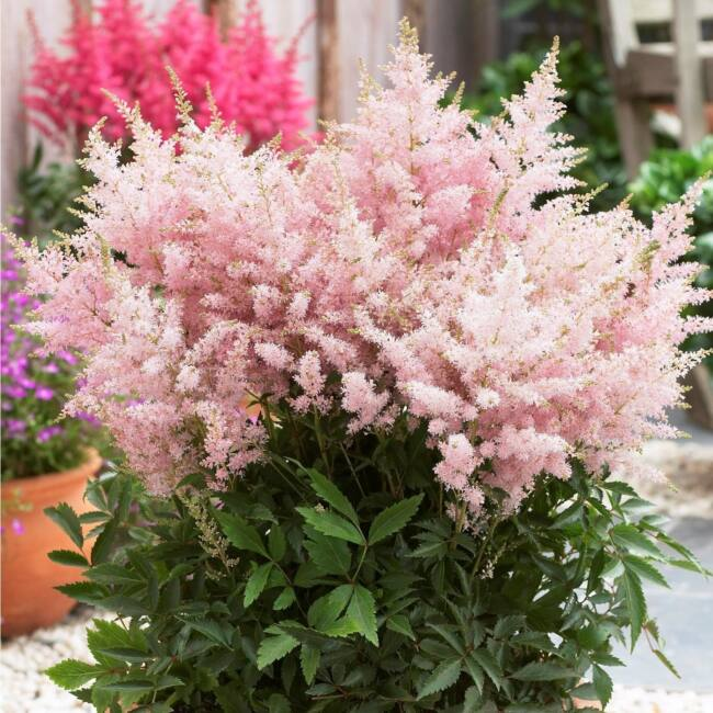 Astilbe sp. 'Younique Silvery Pink' / Tollbuga