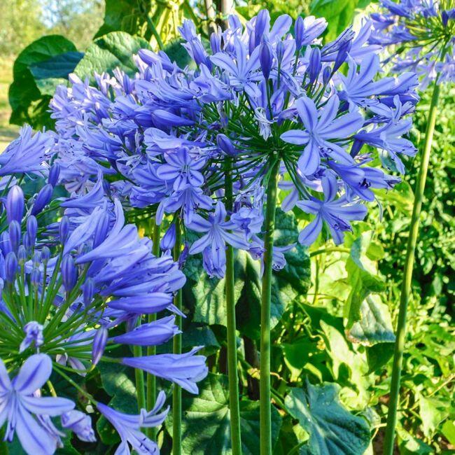 Agapanthus africanus 'Blue umbrella' / Szerelemvirág
