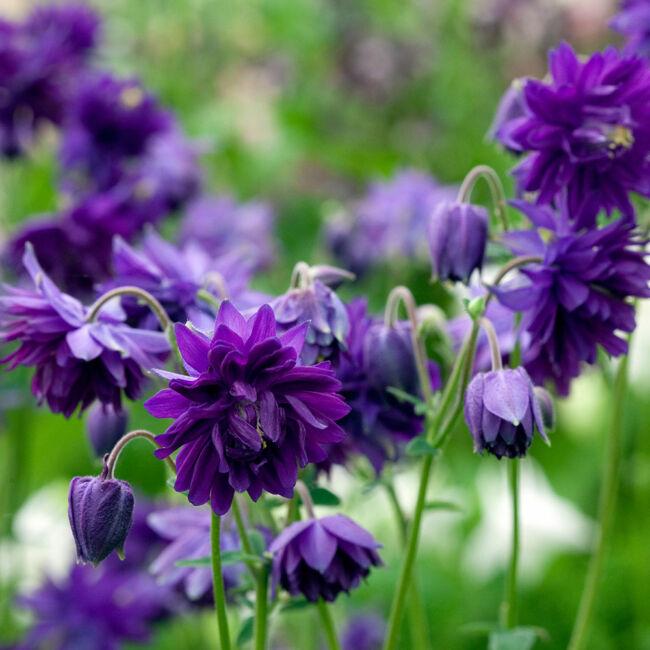 Aquilegia vulgaris 'Blue Barlow' / Közönséges harangláb