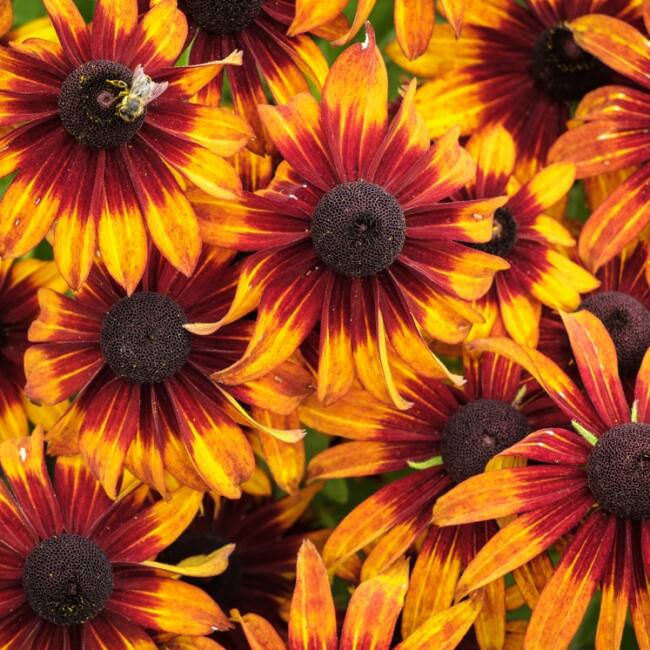 Rudbeckia x Echinacea 'Summerina Orange' / Kúpvirág