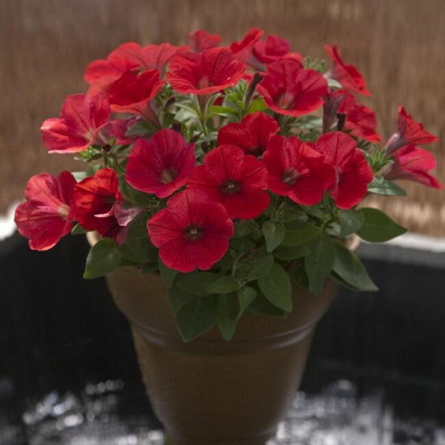 Petunia Bingo Magma Red