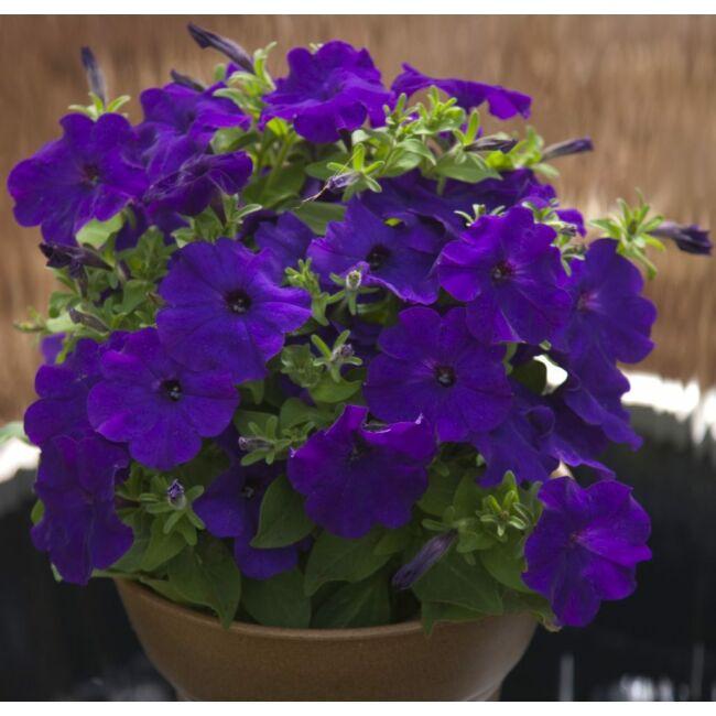 Petunia Bingo Blue