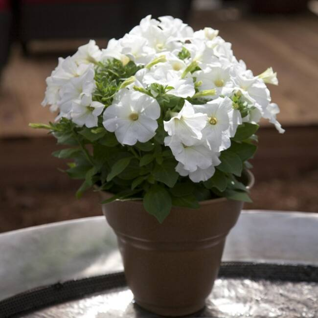 Petunia Bingo White