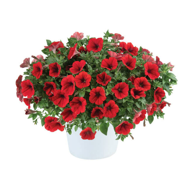 Cascadias Red
