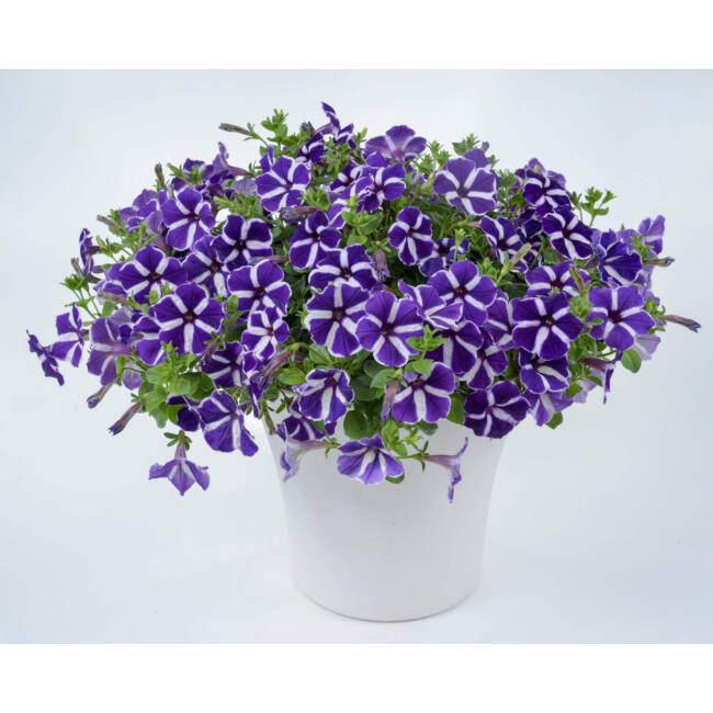 Petunia Cascadias Purple Gem