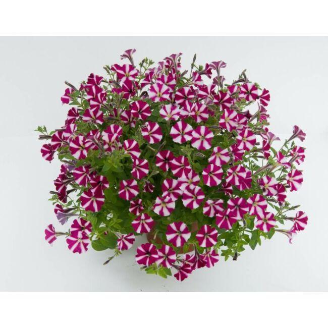 Petunia Littletunia Bicolor Illusion